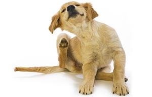 Почему собака чешется, лижет или грызет себя?